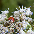Ladybug Atop The Flowers by Darleen Stry