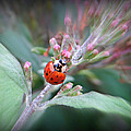 Ladybug by Brenda Conrad