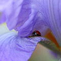 Ladybug On Iris by Diana Haronis
