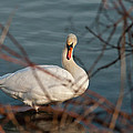 Lake Ontario Swan by Guy Whiteley