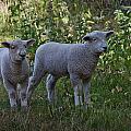 Lambs by Dawn OConnor