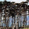 Lands End Trees by Polly Villatuya