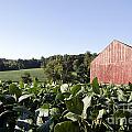Landscape Soybean Field In Morning Sun by Terri Winkler