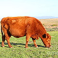 Landscape With Cow Grazing In The Field . 7d9933 by Wingsdomain Art and Photography