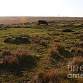 Landscape With Cow Grazing In The Field . 7d9935 by Wingsdomain Art and Photography