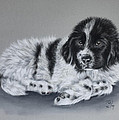 Landseer Pup by Patricia Ivy