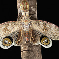 Lantern Bug Fulgora Laternaria by Christian Ziegler