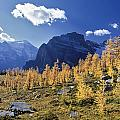 Larch Trees From The Saddleback Trail by Darwin Wiggett