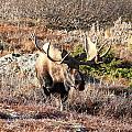 Large Bull Moose by Doug Lloyd