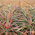 Large Field With Pineapples by Yali Shi
