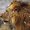Large Male Lion Emerging From The Bush by Carole-Anne Fooks