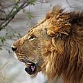 Large Male Lion Profile Portrait by Carole-Anne Fooks