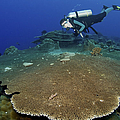 Large Staghorn Coral And Scuba Diver by Mathieu Meur