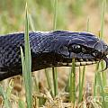 Large Whipsnake Coluber Jugularis by Alon Meir