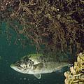 Largemouth Bass by Ted Kinsman