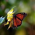 Last Kiss Of The Butterfly by LeeAnn McLaneGoetz McLaneGoetzStudioLLCcom
