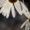 Late Blooming Marguerite Flowers by Ulrich Kunst And Bettina Scheidulin