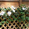Lattace Covered Potato Vine by Peggy Wilburn