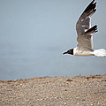 Laughing Gull In Flight by Karol Livote