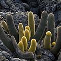Lava Cactus (brachycereus Nesioticus) by Bob Gibbons