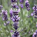 Lavender by Allen Sindlinger