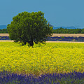 Lavender And Colza In Summer, Provence, France by Jean-Pierre Pieuchot