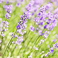 Lavender Blooming In A Garden by Elena Elisseeva
