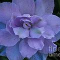 Lavender Blue by Susan Herber