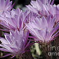 Lavender Cactus Flowers by Jim And Emily Bush