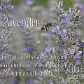 Lavender by Carole Lloyd