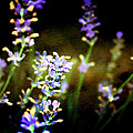 Lavender Dream by Ellen Heaverlo