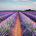 Lavender Field In Blossom by Matteo Colombo
