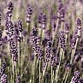 Lavender Field by Laura Melis