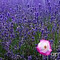 Lavender Field With Poppy by Simon Bratt Photography LRPS