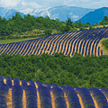 Lavender Fields, Provence, France by Jean-Pierre Pieuchot