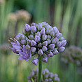 Lavender Flowering Onion by Susan Herber
