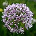 Lavender Globe Lily by Susan Herber