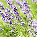 Lavender In Sunshine by Elena Elisseeva