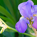 Lavender Iris On Green by Kenneth Sponsler