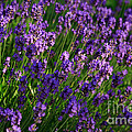 Lavender by Louise Heusinkveld