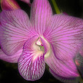 Lavender Orchid by Joseph G Holland