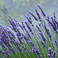 Lavender by Ron Jones