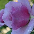 Lavender Roses by Susan Herber