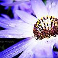 Lavender Senetti by Lessie Heape