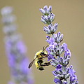 Lavender Visitor by Angie Vogel