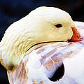Lazy Goose by John Blanchard