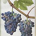 Le Moyne: Grape Vine, C1585 by Granger