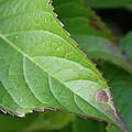 Leaf Blemish by Stephanie Andrews