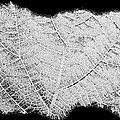 Leaf Design- Black And White by Will Borden