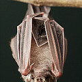 Leaf-nosed Bat Phyllostomidae, Amazon by Murray Cooper